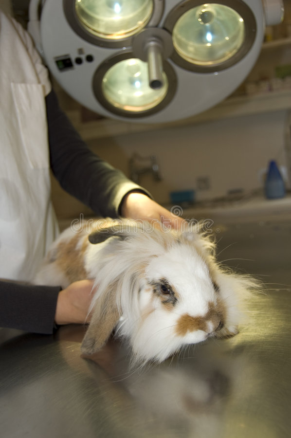 ветеринар кролика стоковые фотографии rf