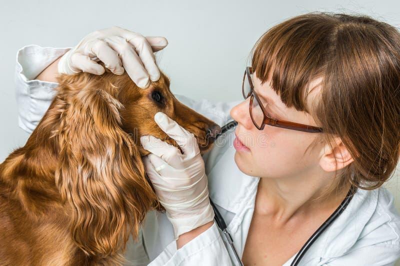 Ветеринар проверяет глаза к собаке стоковое фото rf