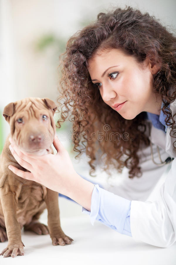 Ветеринар рассматривает собаку Shar Pei стоковое фото rf