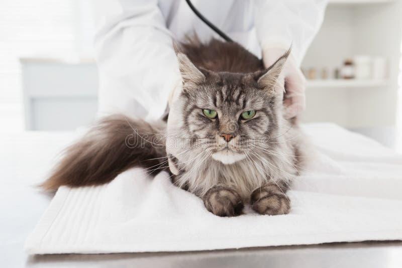 Ветеринар рассматривая серого кота стоковая фотография rf