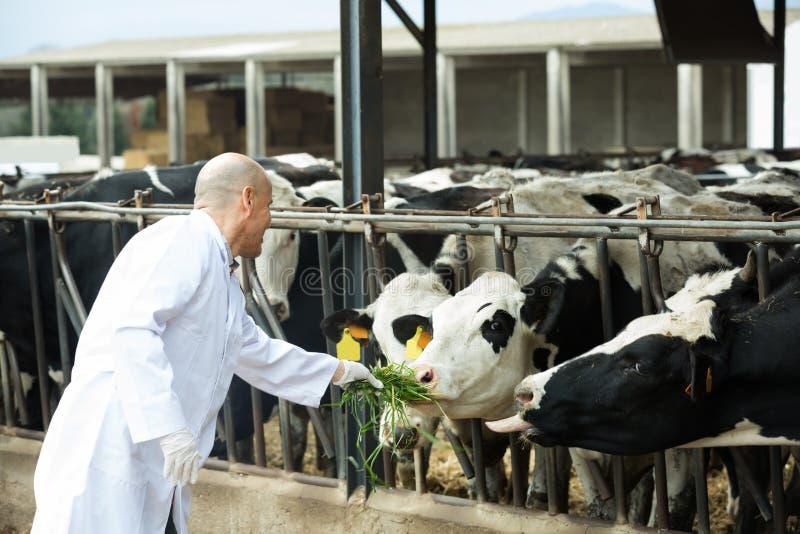 Download Ветеринар с коровами в ферме поголовья Стоковое Фото - изображение насчитывающей housing, аграрным: 81801832