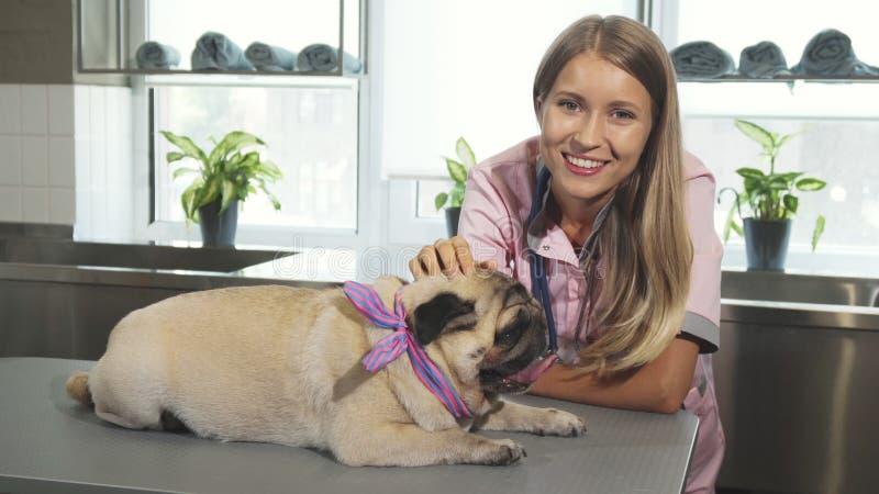 Ветеринар штрихует собаку мопса стоковые изображения