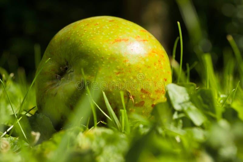 Ветерные яблоки на земле стоковая фотография