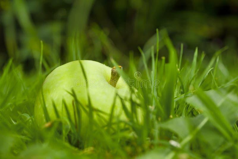 Ветерные яблоки на земле стоковое фото rf