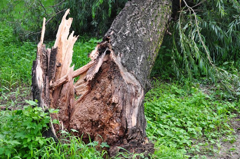 Ветер дунул большое дерево стоковые фото