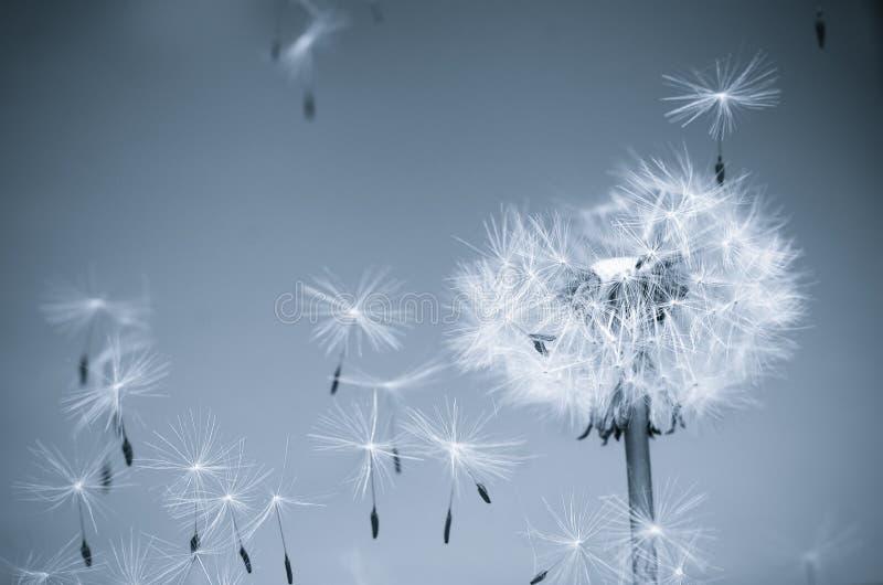 ветер одуванчика стоковые изображения