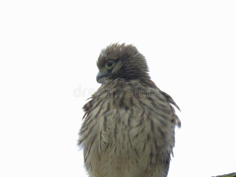 Ветер раздражает пер молодого kestrel стоковая фотография rf