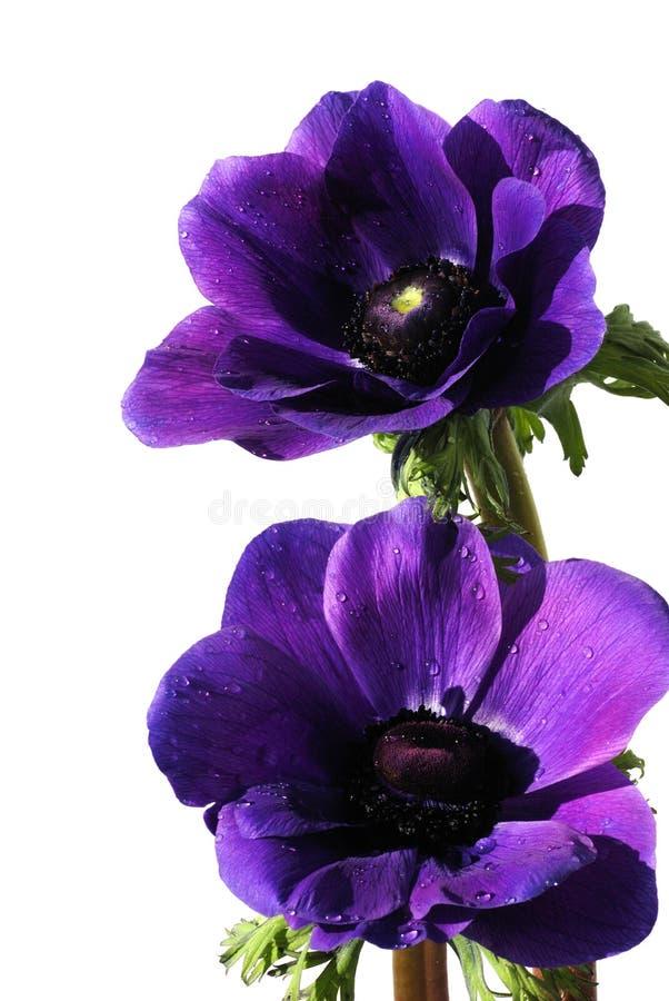 ветреница цветет пурпур стоковая фотография rf