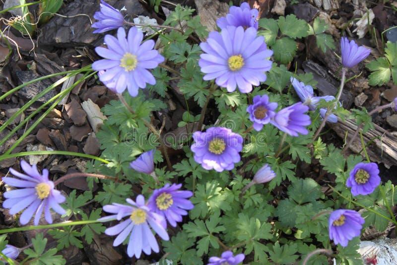 Ветреница Blanda - первые цветки года греемые солнечными лучами стоковые изображения
