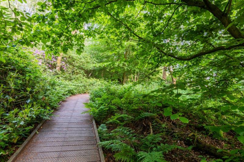 Ветры поднятые деревянные тропы променада через густолиственное зеленое дерево стоковая фотография rf