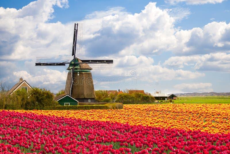 ветрянка тюльпана поля стоковые фотографии rf