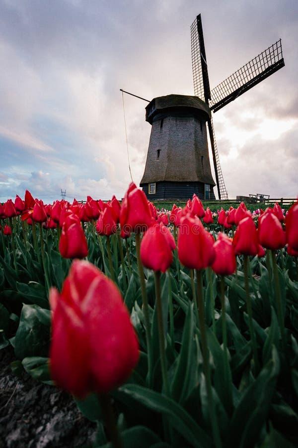 Ветрянки и тюльпаны, Голландия поле цветет вполне стоковая фотография