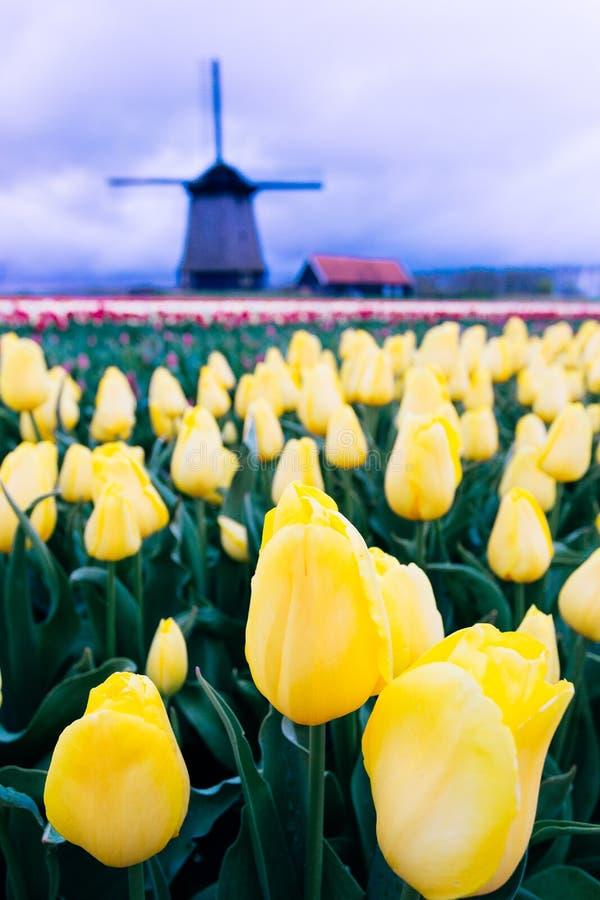 Ветрянки и тюльпаны, Голландия поле цветет вполне стоковое фото