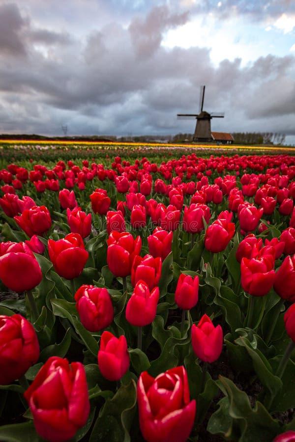 Ветрянки и тюльпаны, Голландия поле цветет вполне стоковые изображения rf