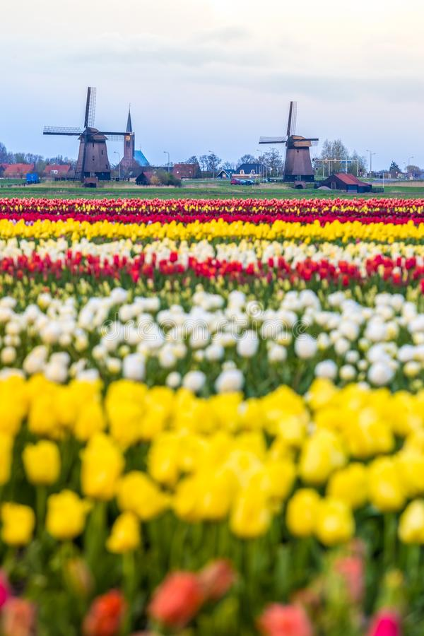 Ветрянки и тюльпаны, Голландия поле цветет вполне стоковые фотографии rf
