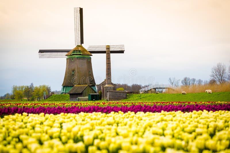 Ветрянки и тюльпаны, Голландия поле цветет вполне стоковое изображение