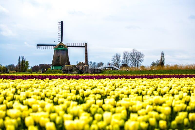 Ветрянки и тюльпаны, Голландия поле цветет вполне стоковые изображения