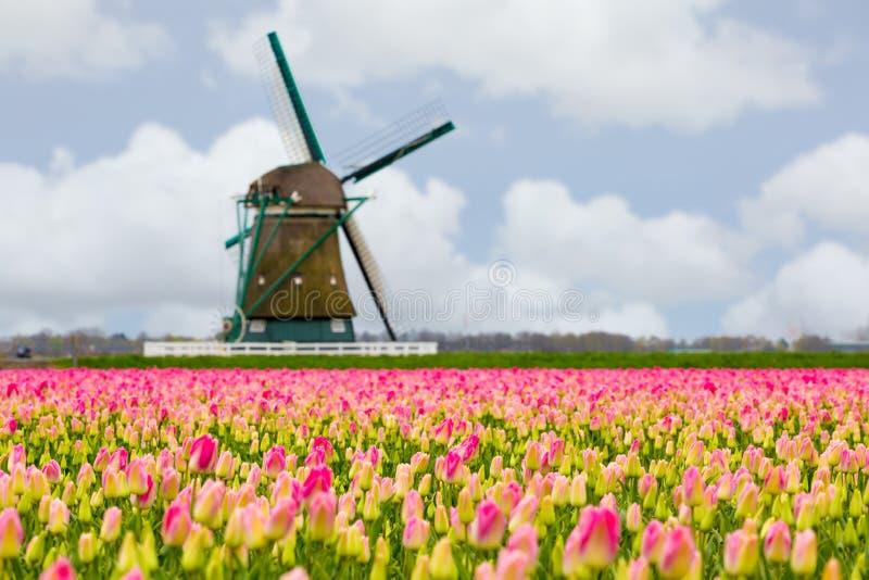 Ветрянки и тюльпаны, Голландия поле цветет вполне стоковое изображение rf