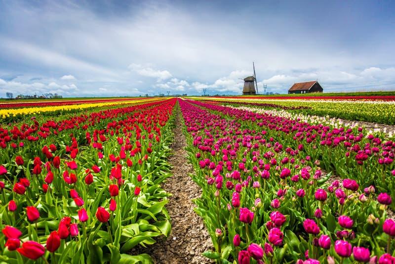 Ветрянки и тюльпаны, Голландия поле цветет вполне стоковые фото