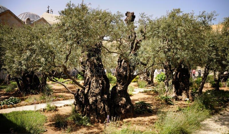 Вечное оливковое дерево стоковое фото rf