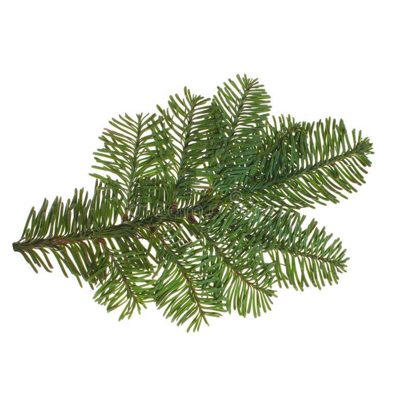 Вечнозеленая изолированная хворостина рождественской елки стоковые изображения rf