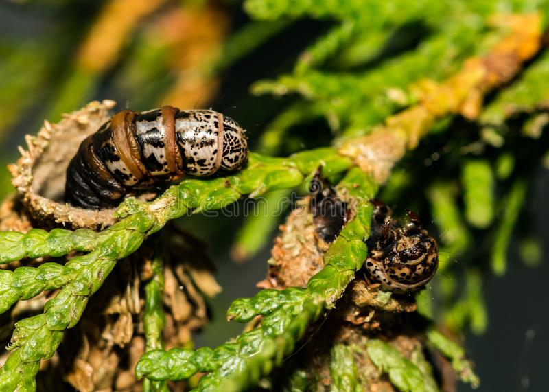 Вечнозеленое Bagworm есть орнаментальный кедр стоковые изображения rf