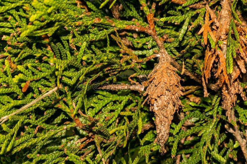 Вечнозеленое Bagworm есть орнаментальный кедр стоковые фотографии rf