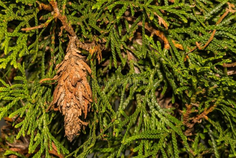 Вечнозеленое Bagworm есть орнаментальный кедр стоковые изображения