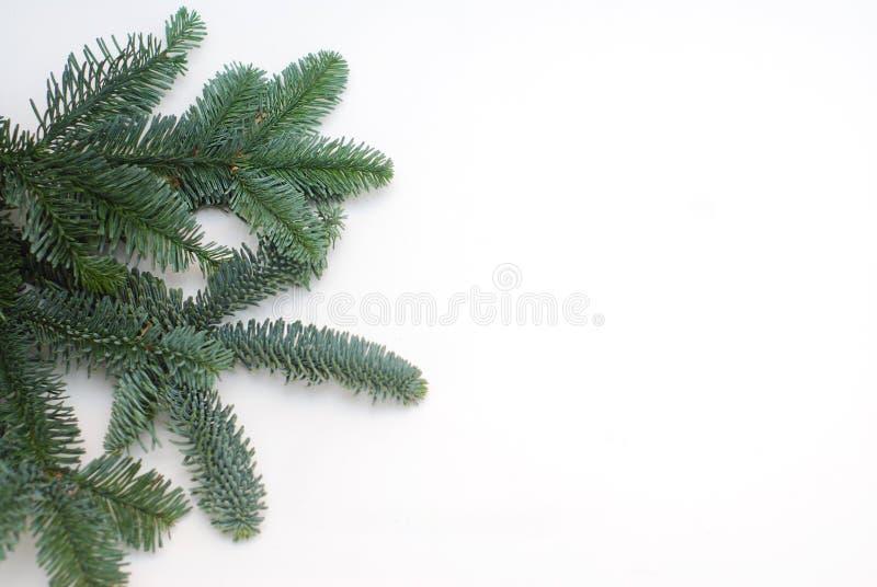 Вечнозеленые ветви ели на белой предпосылке с затиром экземпляра стоковые изображения