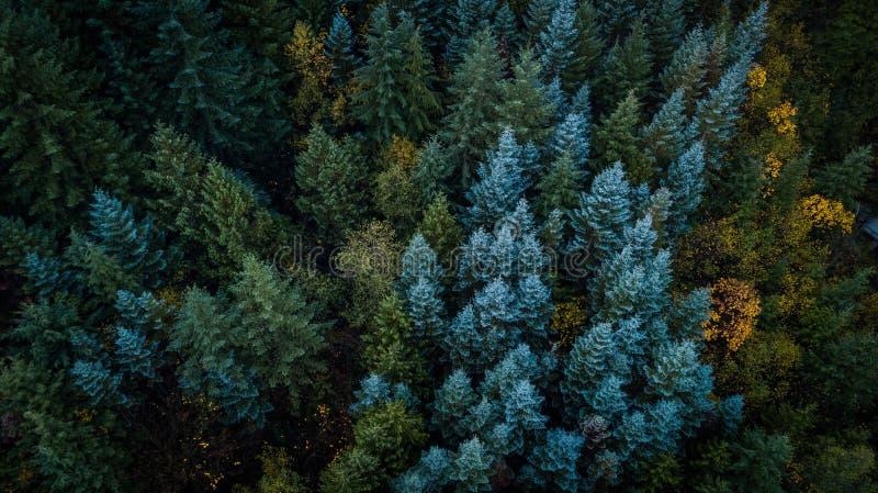 Вечнозеленые деревья в штате Вашингтоне стоковое фото