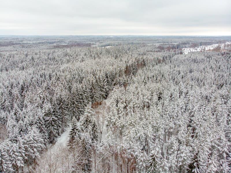 Вечнозеленый лес в зиме стоковая фотография
