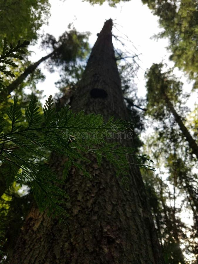Вечнозелёное растение в лесе стоковая фотография