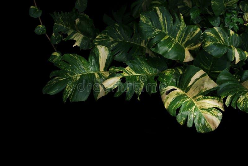 Вечнозеленая лоза, плющ ` s дьявола, aureum Epipremnum золотого pothos, стоковое изображение