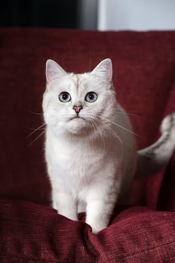 великобританская шиншилла кота стоковые изображения