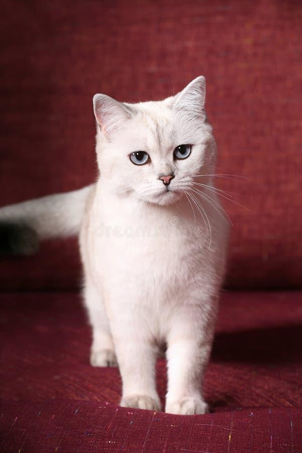 великобританская шиншилла кота стоковое изображение rf