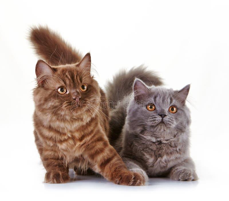 Download Великобританские длинные котята волос Стоковое Изображение - изображение насчитывающей волосы, меховой: 41658647