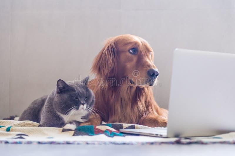Великобританские коты shorthair и золотой Retriever стоковое фото rf