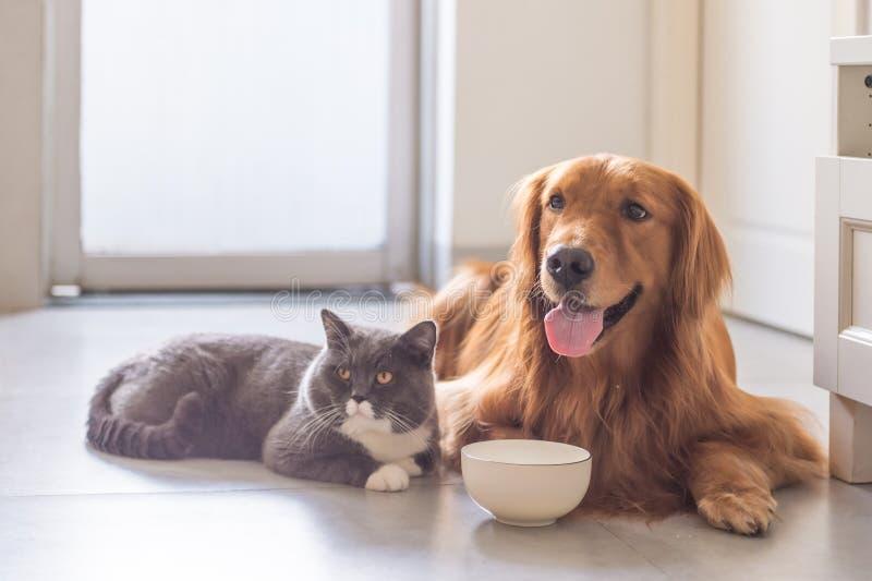 Великобританские коты shorthair и золотой Retriever стоковая фотография