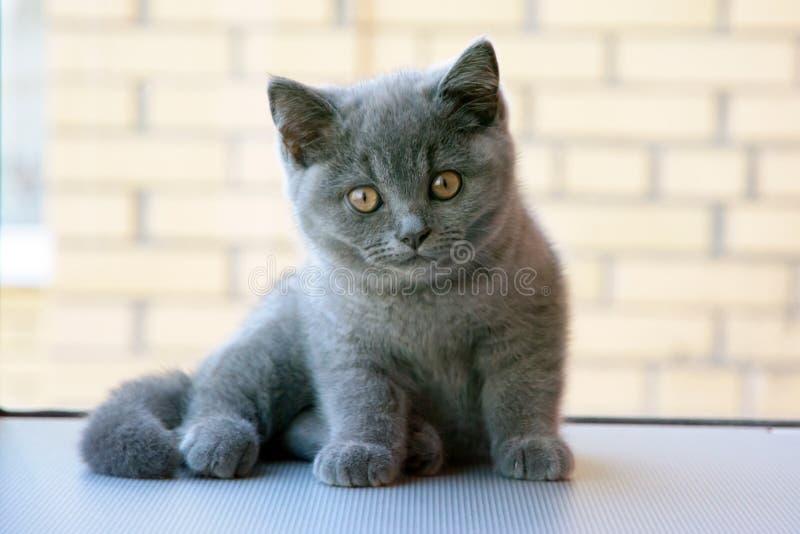 великобританский котенок стоковое изображение