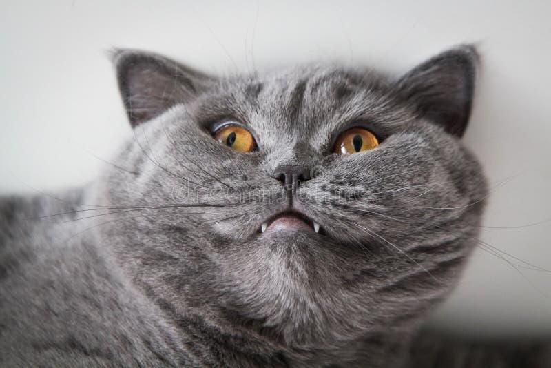 Великобританский кот любимчика стоковое изображение
