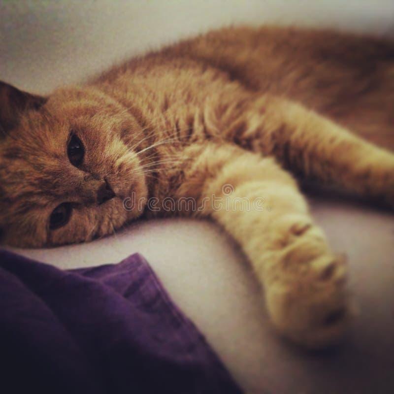 Великобританский кот стоковые фото