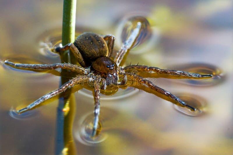 Великобританский паук сплотка отдыхая на воде и охотиться стоковая фотография