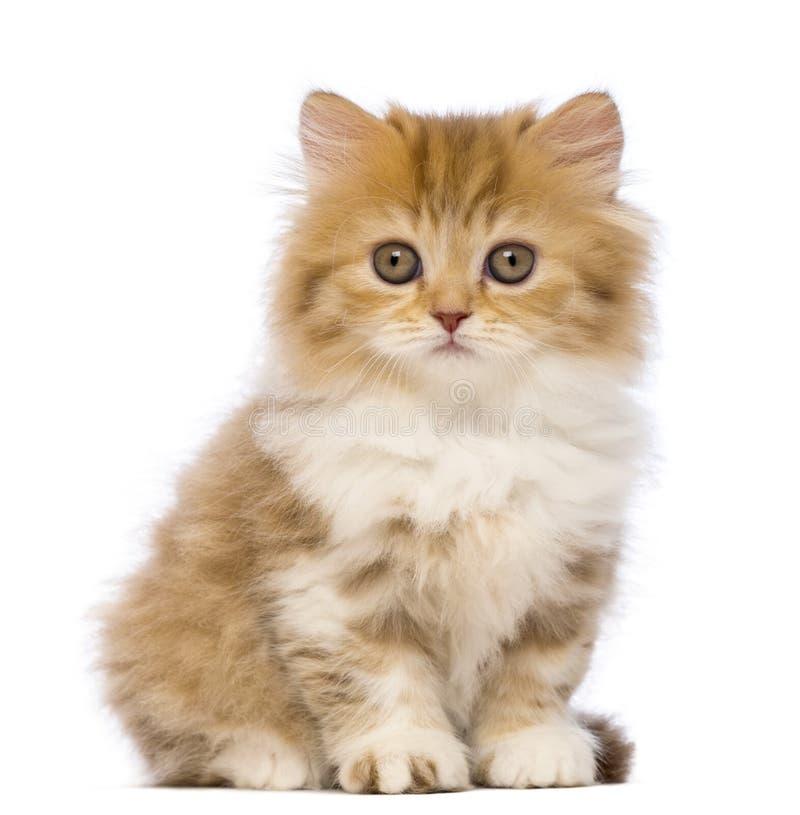 Великобританский Longhair котенок, 2 месяца старого, сидя и смотря камеру стоковая фотография rf