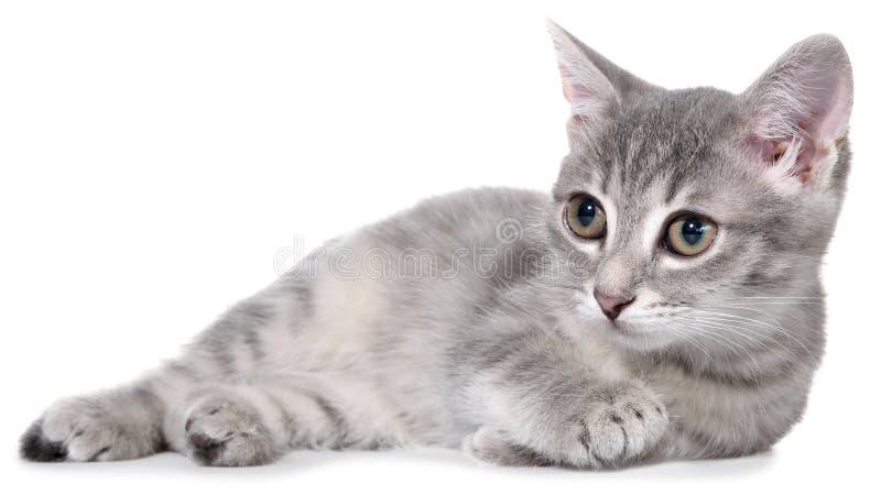 Великобританское изолированное положение котенка tabby shorthair стоковое фото rf
