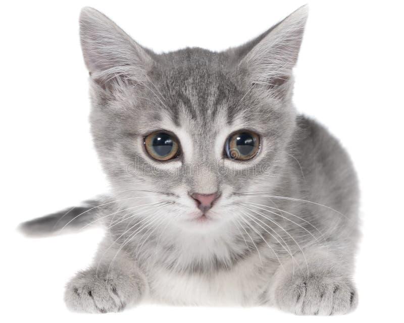 Великобританское положение котенка tabby shorthair стоковые фото