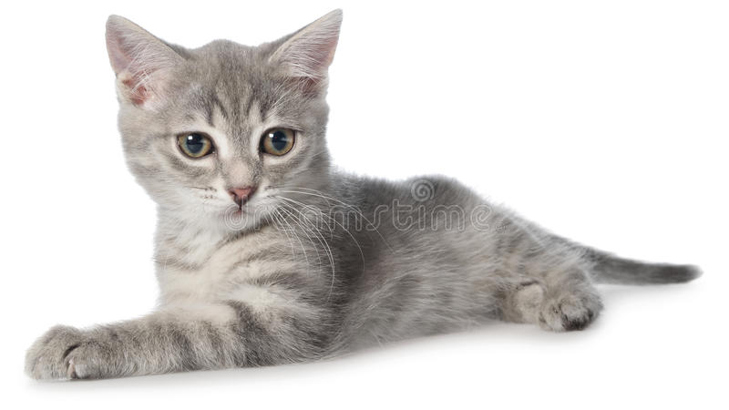 Великобританское положение котенка tabby shorthair стоковые изображения