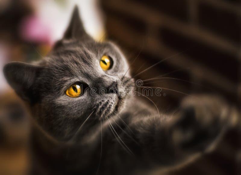 великобританское shorthair стоковое изображение
