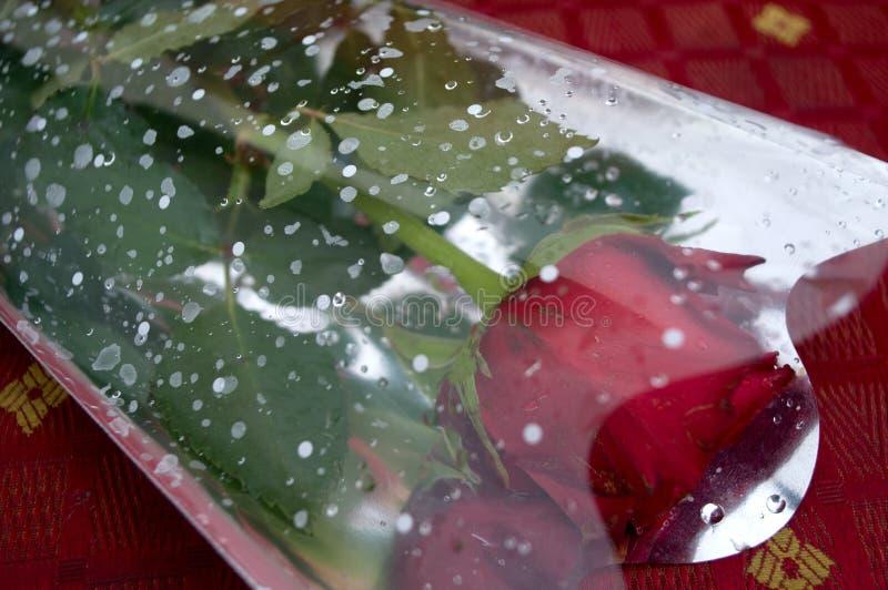 Великолепие красных роз своих красоты и свежести стоковые фотографии rf