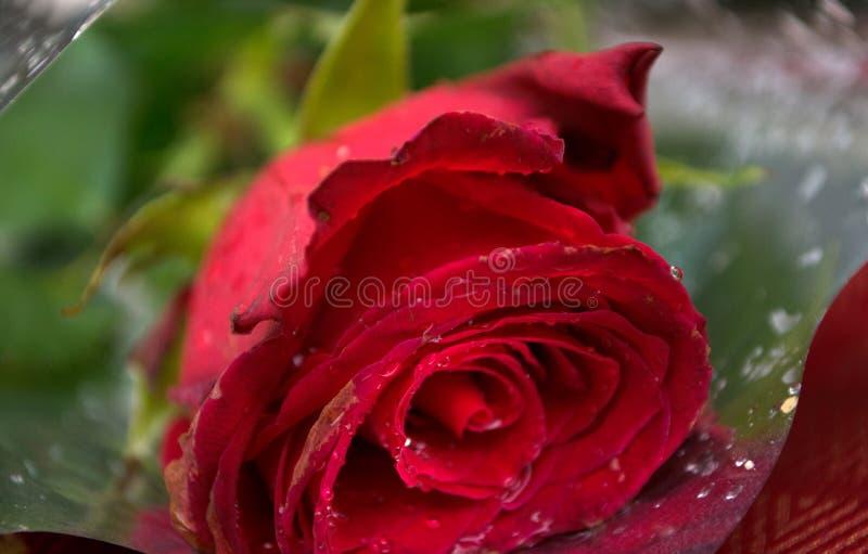 Великолепие красных роз своих красоты и свежести стоковое фото rf