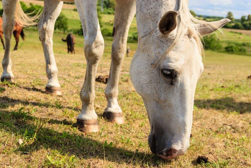 Величественная грациозно белая лошадь в луге стоковая фотография rf